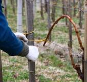 Marec vezanje vinske trte (27)