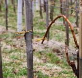 Marec vezanje vinske trte (28)