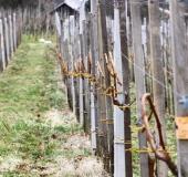 Marec vezanje vinske trte (29)