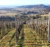 Marec vezanje vinske trte (32)