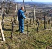 Marec vezanje vinske trte (4)