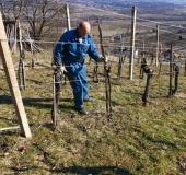 Marec vezanje vinske trte (5)