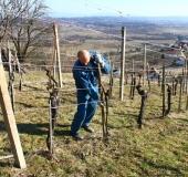 Marec vezanje vinske trte (6)