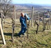 Marec vezanje vinske trte (7)