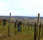 Marec vezanje vinske trte (9)