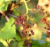 Vinogradništvo skozi leto - september (10)