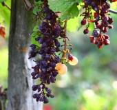 Vinogradništvo skozi leto - september (11)