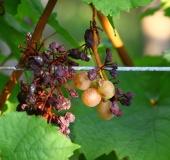 Vinogradništvo skozi leto - september (12)
