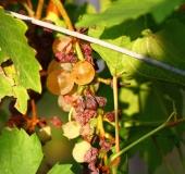 Vinogradništvo skozi leto - september (13)
