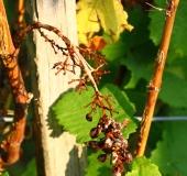 Vinogradništvo skozi leto - september (14)