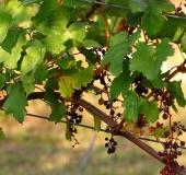 Vinogradništvo skozi leto - september (15)