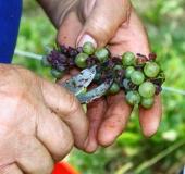 Vinogradništvo skozi leto - september (3)
