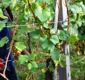 Vinogradništvo skozi leto - september (5)