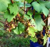Vinogradništvo skozi leto - september (7)