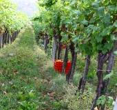 Vinogradništvo skozi leto - september (9)