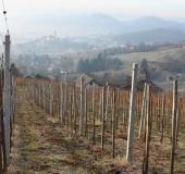 Februar rez vinske trte (1)