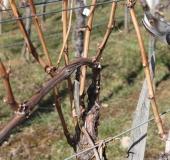 Februar rez vinske trte (10)