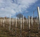 Februar rez vinske trte (3)