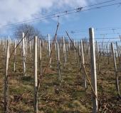 Februar rez vinske trte (4)