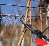 Februar rez vinske trte (6)