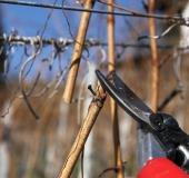 Februar rez vinske trte (7)
