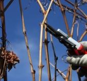 Februar rez vinske trte (8)