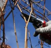 Februar rez vinske trte (9)
